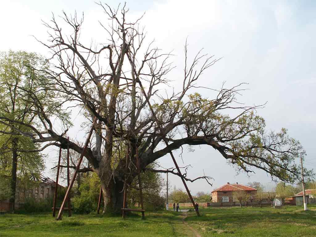 село Гранит до Плодовитово най-старият дъб у нас